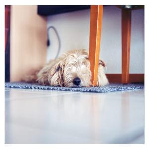 norlfolk terrier