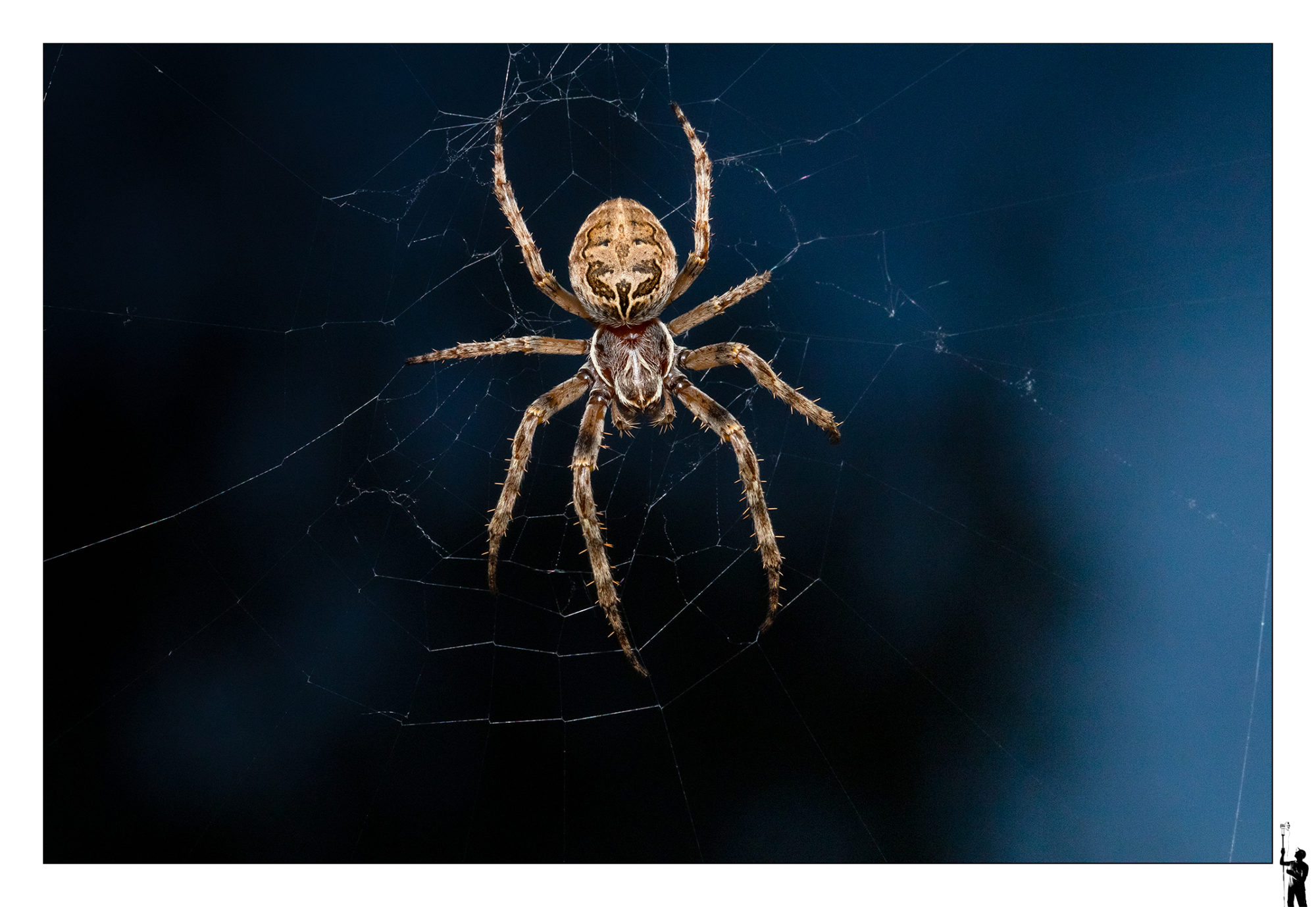 grosse araignée suisse au flash et objectif macro