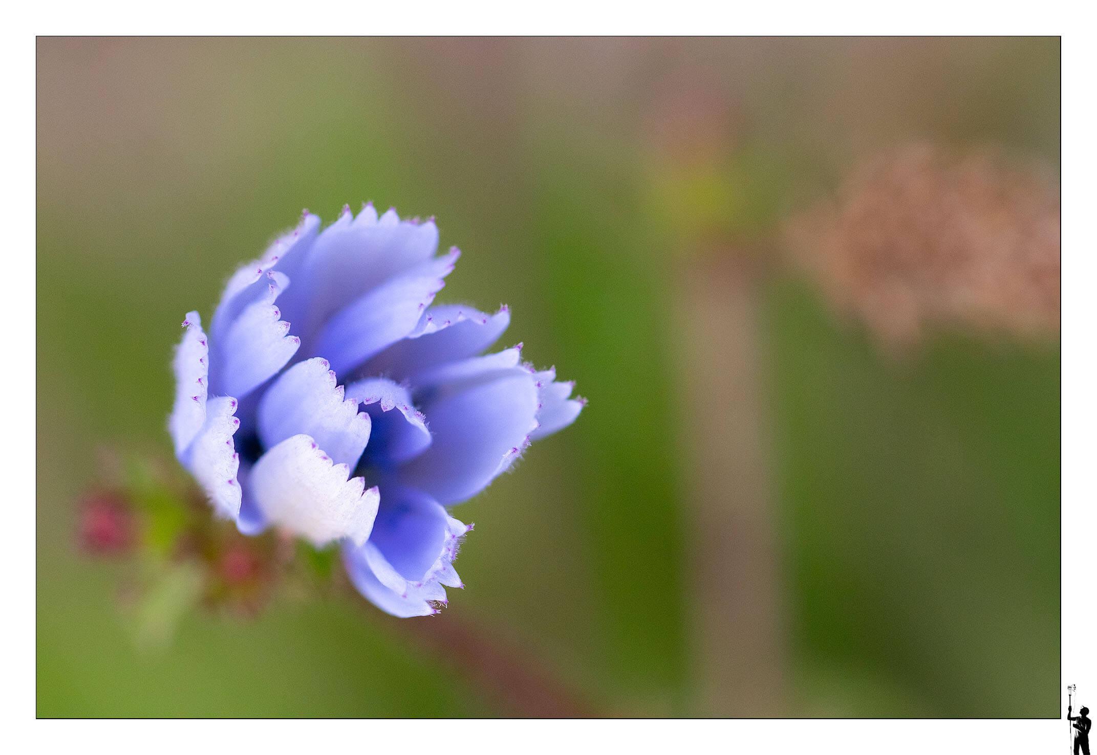 Fleurs, violettes des champs